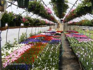 Annuals in Greenhouse